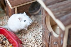 Gerbil. White gerbil little desert rodent Royalty Free Stock Photos