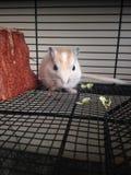 Gerbillinae bianco che mangia cavolo Fotografie Stock Libere da Diritti