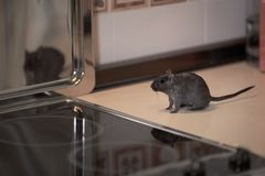 Gerbillo calmo che curiosa nella cucina fotografie stock libere da diritti