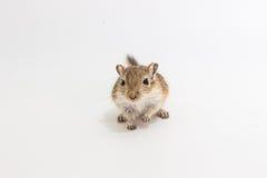 Gerbillo mongolo della lettiera, ratto del deserto Fotografie Stock