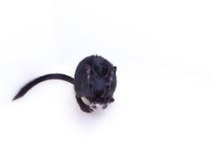 Gerbillo mongolo, ratto del deserto Immagine Stock Libera da Diritti