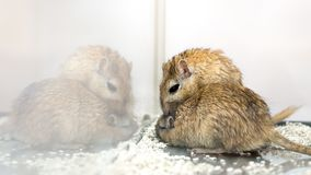 Gerbils affectueux d'amusement image stock