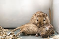 Fun loving Gerbils royalty free stock image