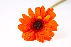 Gerbira arancio e gambo Fotografia Stock