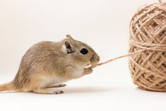 Gerbo - animal de estimação bonito Foto de Stock Royalty Free
