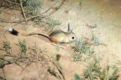 Gerboise/Jaculus La gerboise sont un animal de steppe et mènent une vie nocturne photos stock