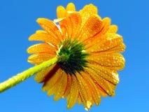 Gerbr amarelo Foto de Stock Royalty Free