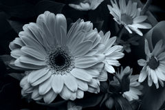Gerbra. Black and White Gerbra With Daisies Royalty Free Stock Images