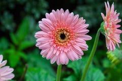 Gerbyra flower blossom Stock Images
