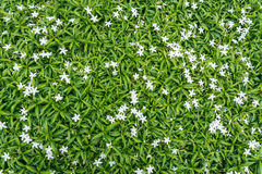 Gerdenia Crape Jasmine with green leaves Stock Photo