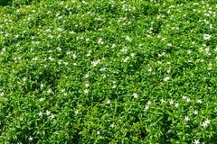 Gerdenia Crape Jasmine with green leaves Stock Image