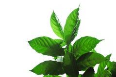 Gerdenia Crape Jasmine green leaves on white Stock Image