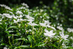 Gerdenia Crape Jasmine Royalty Free Stock Photos