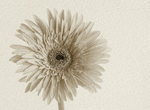Gerder flower on white texture paper Stock Images