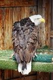 Gered Kaal Eagle in Territoriale Houding Stock Afbeeldingen