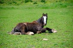 Gered paard die op het groene gras rusten stock foto's