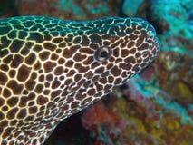 Geregen moray paling Stock Afbeeldingen