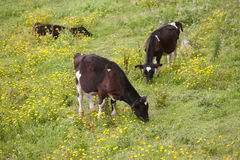 Geregistreerde jonge koeien die in het platteland weiden azores Portug Stock Foto