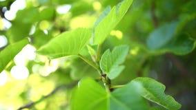 Gereifte Feigen, grüne Frucht stock video footage