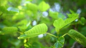 Gereifte Feigen, grüne Frucht stock video