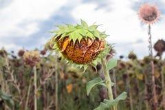 Gereifte und trockene Sonnenblume Lizenzfreie Stockfotos