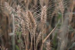 Gereifte Weizenährchen auf dem Gebiet lizenzfreie stockfotos
