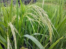 Gereifter Reis auf Reisfeldern in Bali, Indonesien lizenzfreie stockbilder