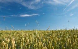 Gereifter Weizen Lizenzfreie Stockbilder