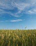 Gereifter Weizen Lizenzfreies Stockfoto