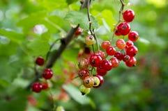 Gereiftes rote Johannisbeerbeerenobst auf der Niederlassung, Erzeugnisgartenmakroabschluß des organischen Biohinterhofes gesunder Lizenzfreie Stockbilder
