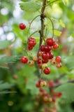 Gereiftes rote Johannisbeerbeerenobst auf der Niederlassung, Erzeugnisgartenmakroabschluß des organischen Biohinterhofes gesunder Stockbilder