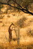 gerenuk肯尼亚samburu 免版税库存图片