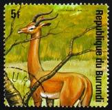 Gerenuk Σομαλός: garanuug (walleri Litocranius), ζώα Β σειράς Στοκ Εικόνες
