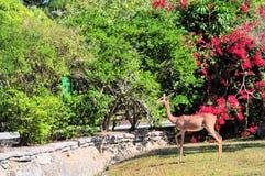 gerenuk антилопы горизонтальное Стоковое фото RF