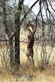 Gerenuk в саванне Стоковые Изображения RF
