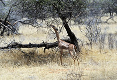 Gerenuk в саванне Стоковое Фото