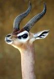 Gerenuk Stock Afbeelding