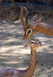 Gerenuk Stock Photos