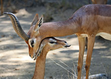 Gerenuk Royalty Free Stock Images