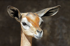 Gerenuk Royalty Free Stock Photography