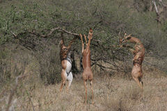Gerenuk. Group of gerenuk gazelles. Litocranius walleri, standing on their hind legs to feed on acacia leaves Royalty Free Stock Photos