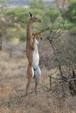 Gerenuk. Gazelle standing on hind legs to reach leaves on top of acacia bush Stock Image