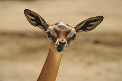 Free Gerenuk Stock Photography - 21614672