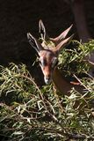 Gerenuk Stock Photography