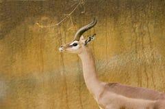 Gerenuk Stock Photos