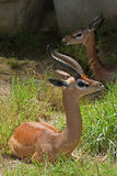 Gerenuk Royalty Free Stock Photo