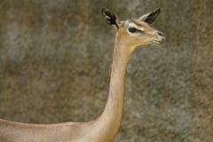 Gerenuk 6 Photographie stock libre de droits
