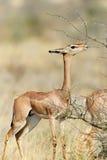 Gerenuk stock fotografie