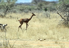 Gerenuk in the African savannah Royalty Free Stock Photography