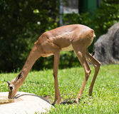 Gerenuk - Also known as the giraffe-necked antelope Stock Images
